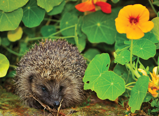 Hedgehog in the Flowers